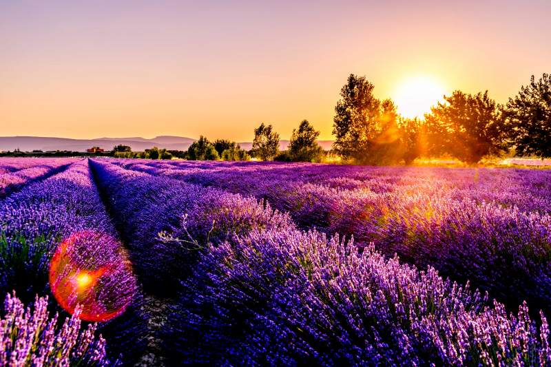 Lavandar fields France