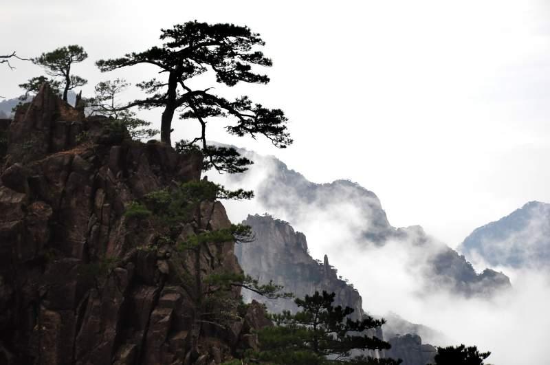 pine tree mount Huangshan
